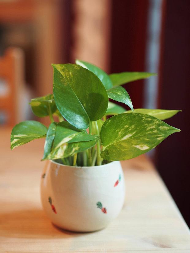 Potos (Devil's Ivy) Foto: