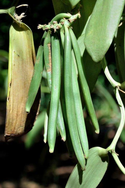 Vanilka - drahá chuť orchidejí 3 Foto: