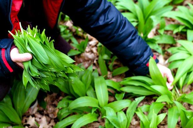Při sběru listů buďte k rostlinám šetrní, další roky se vám odvděčí :) Foto:
