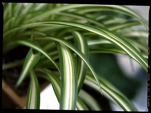 Zelenec/Chlorophytum laxum - detail Foto: Jindřich Votýpka