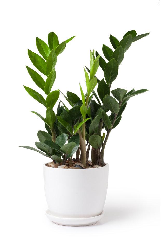 Zamiokulkas (Zamioculcas zamiofolia) Foto: